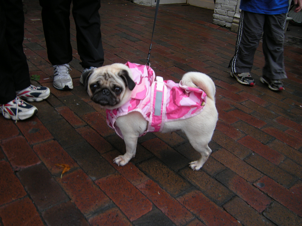 Refreshing run in the rain pug