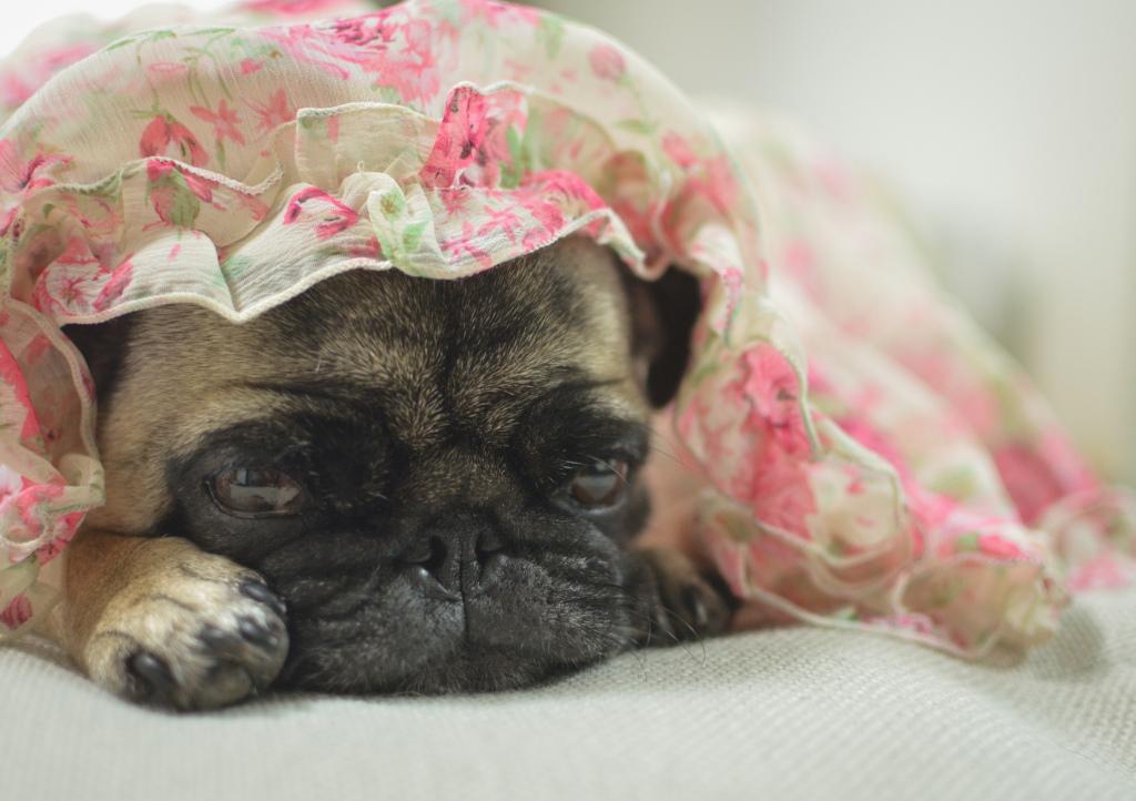 Sleepy beauty pug