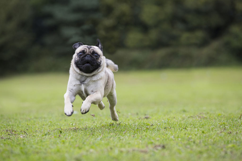 full speed ahead pug 2