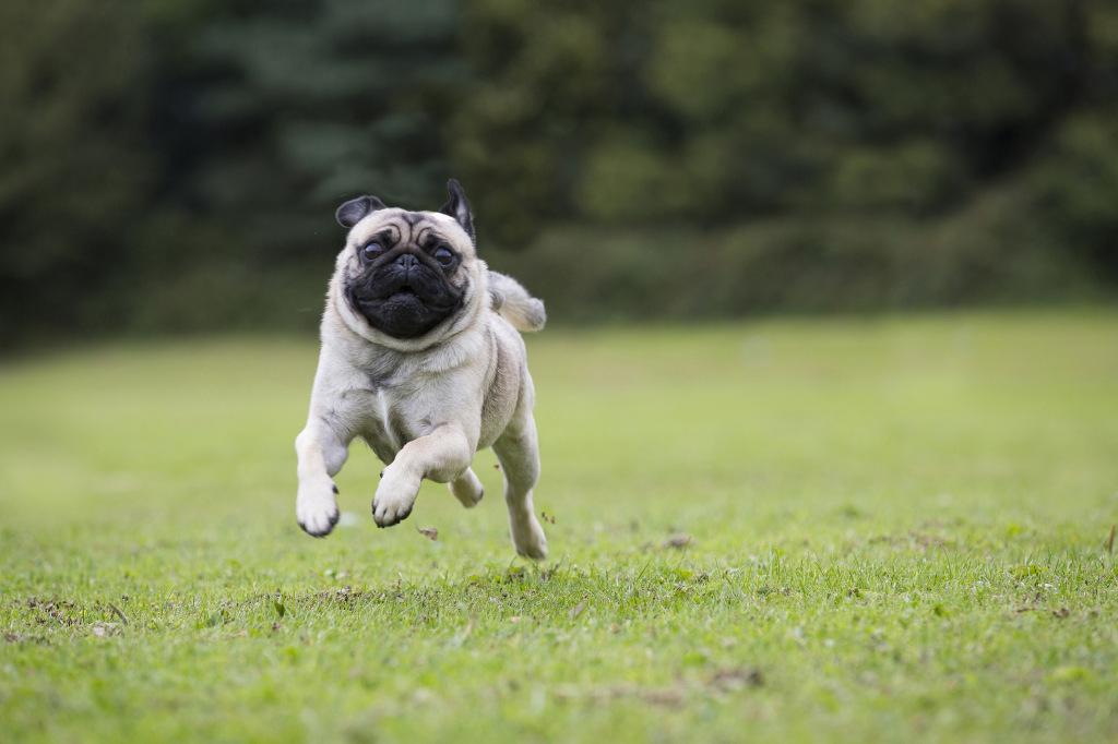 full speed ahead pug 2