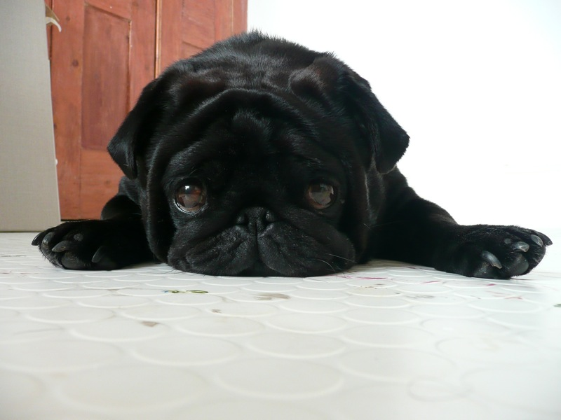 heart melting pug