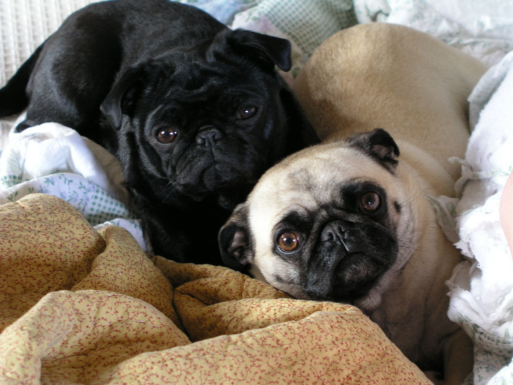 ready for bed pugs
