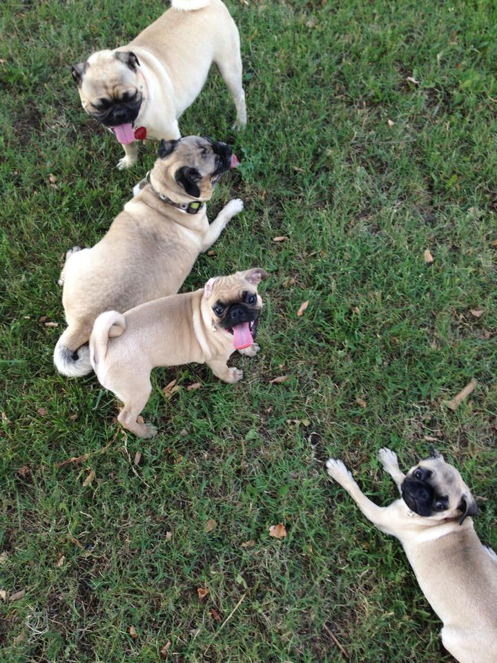 A grumble of adorable pugs