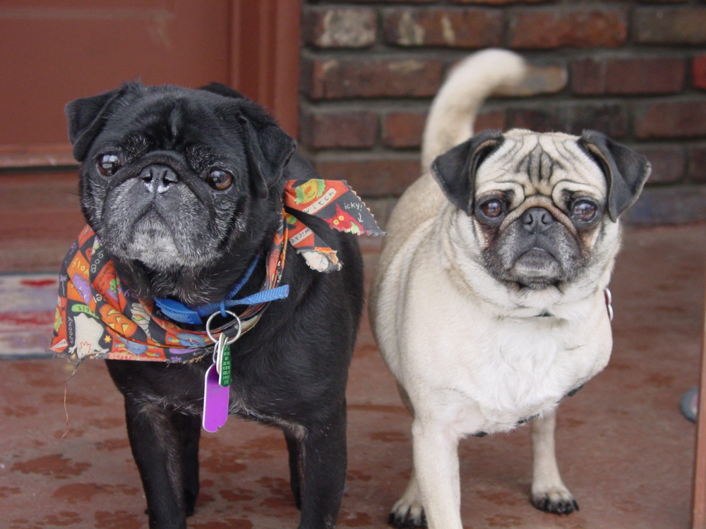 This fawn pug and black pug would like to hear more about what you have to say!