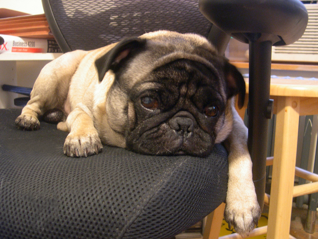Pug in desk chair