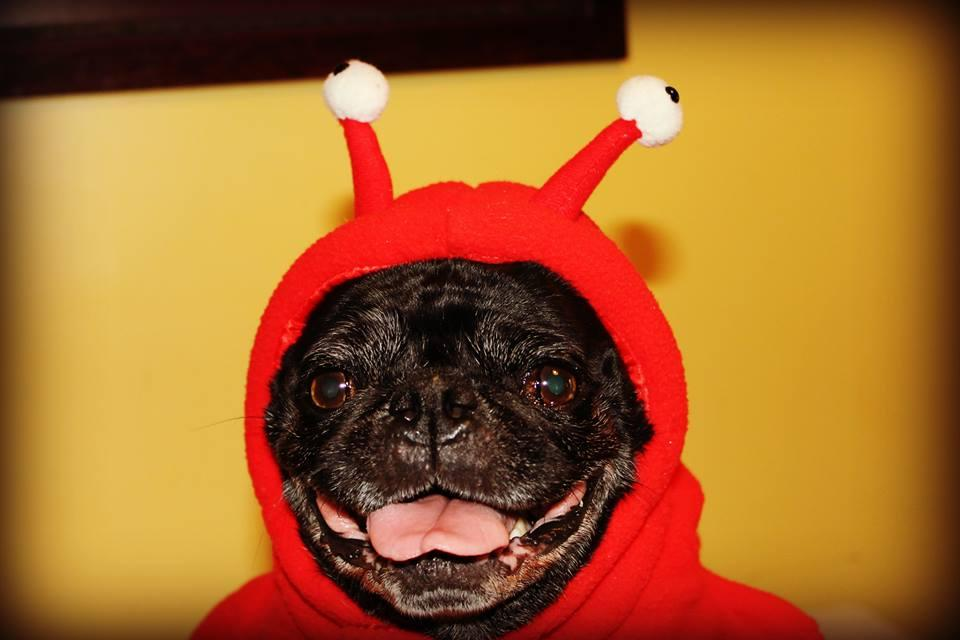 Pug in lobster costume
