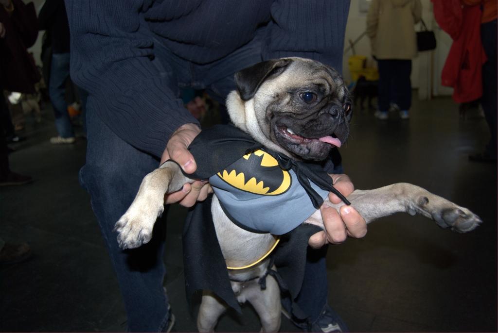 bat pug costume