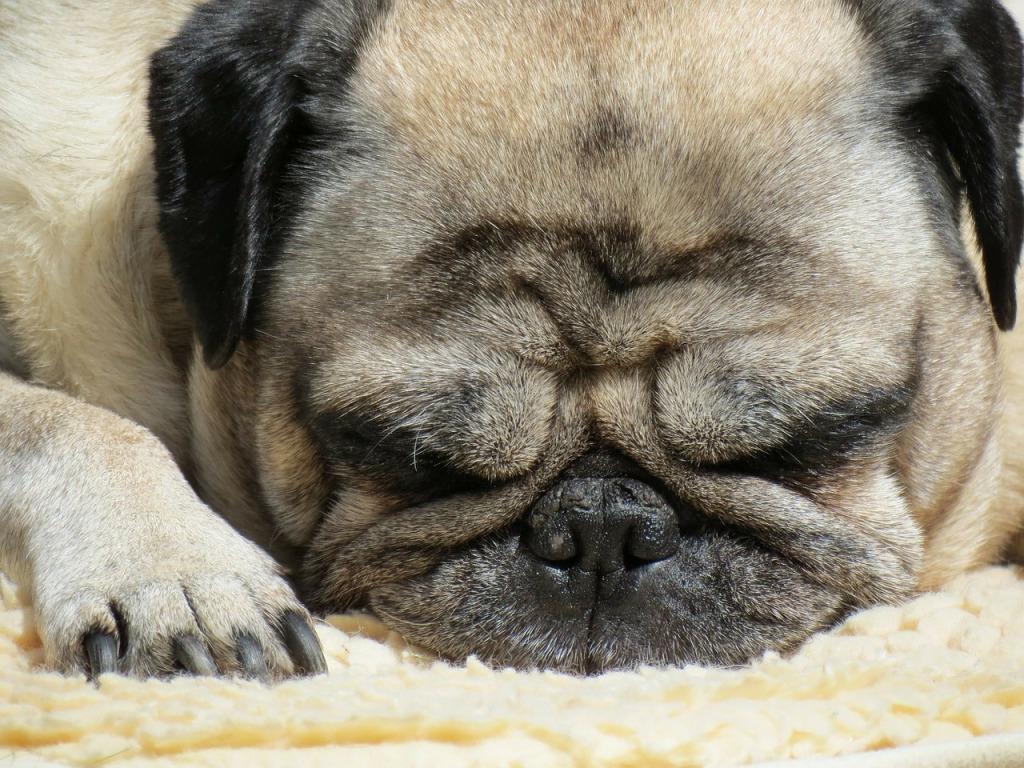 grumpy sleeping pug