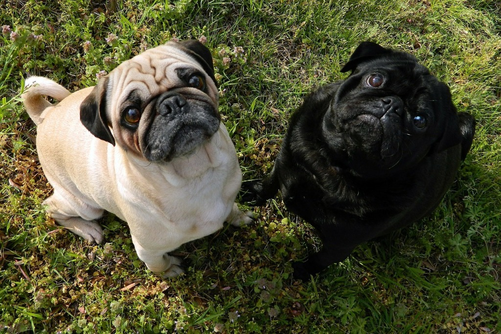 two sitting pugs