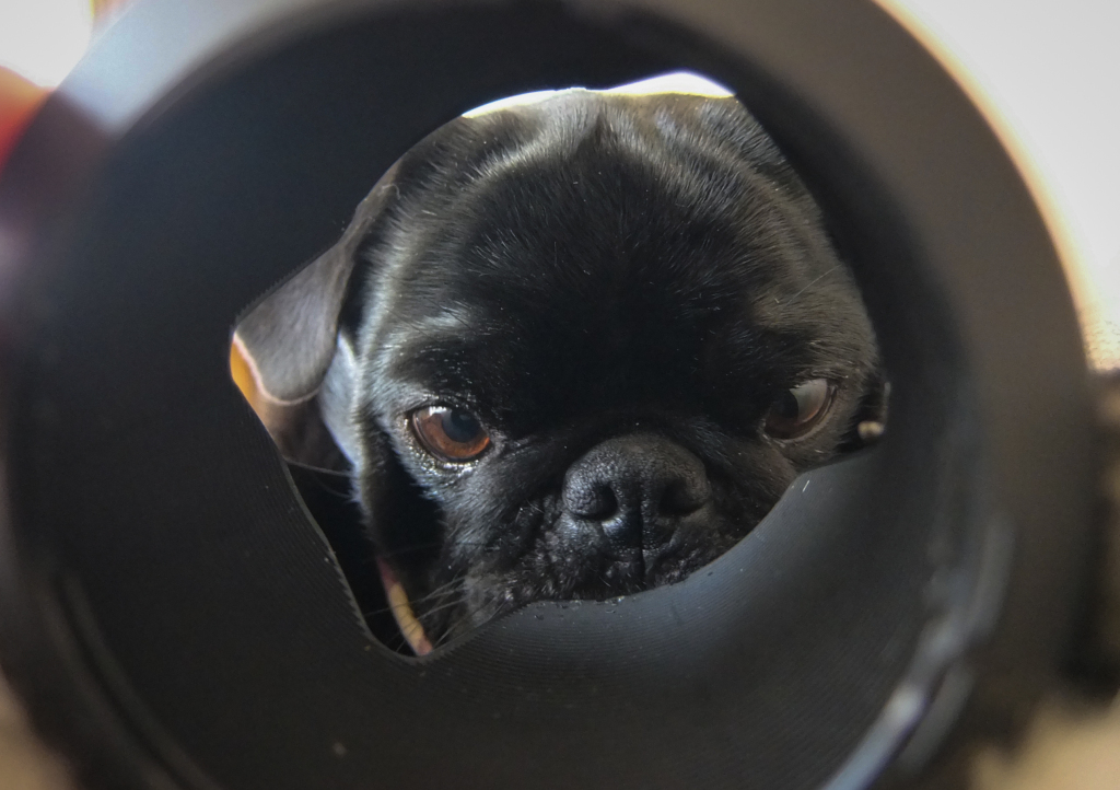 Cute Black Pug puppy peeking out