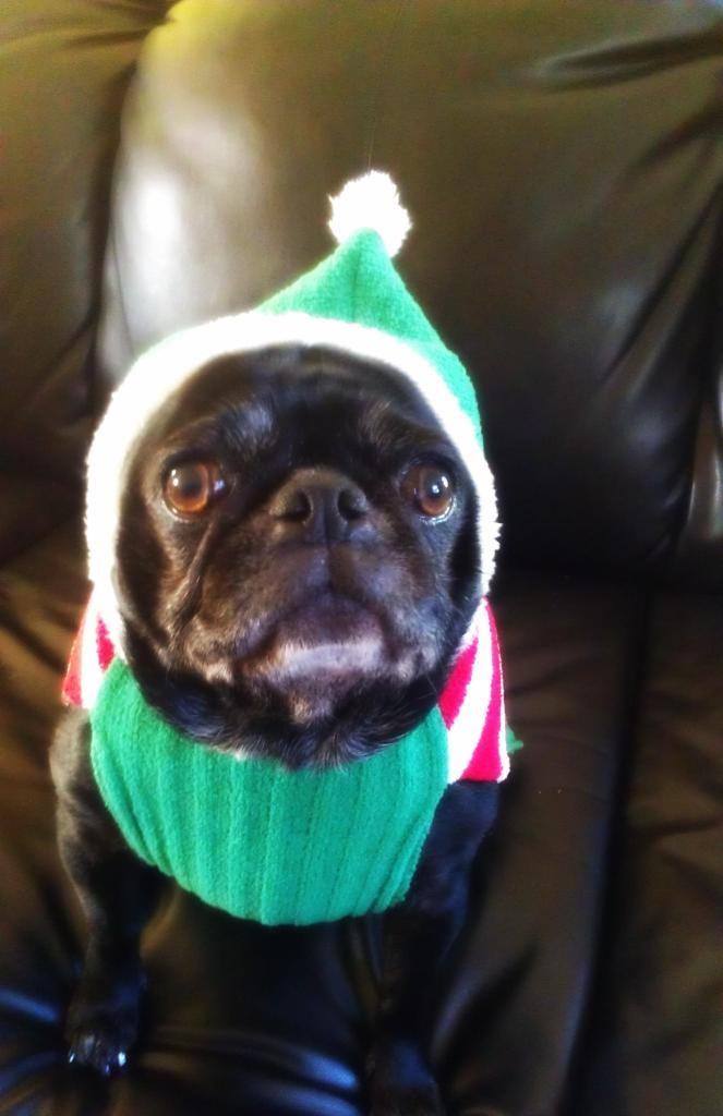 Cute pug bundled up hat