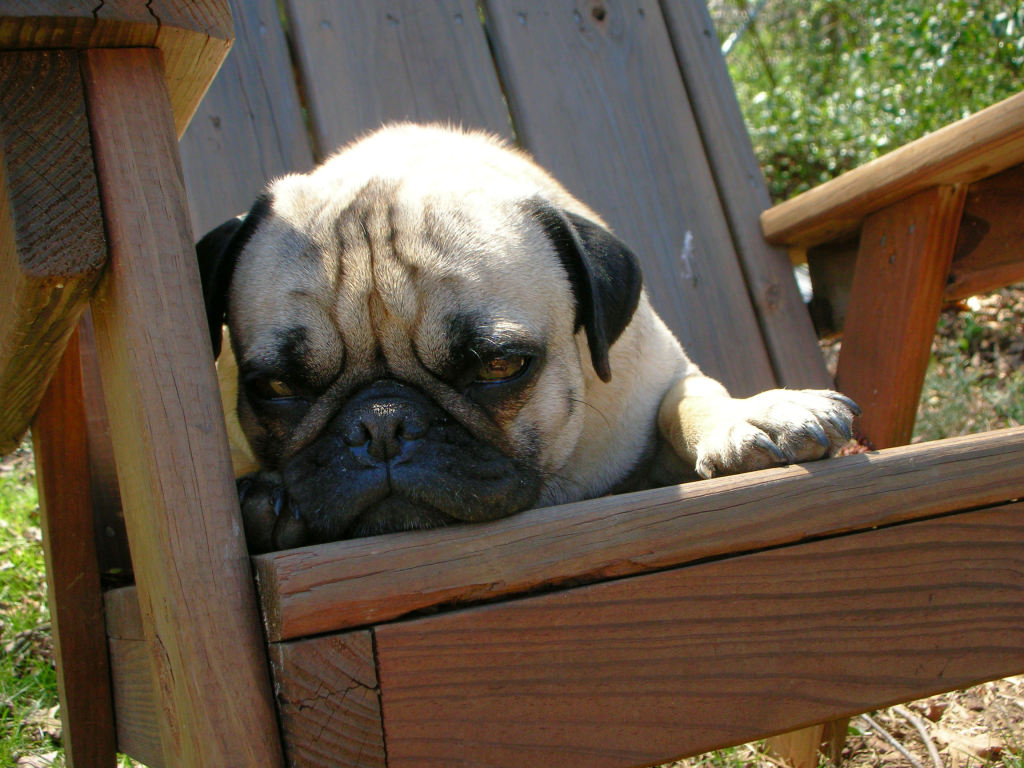 Funny Cute Pug on a lawn chair