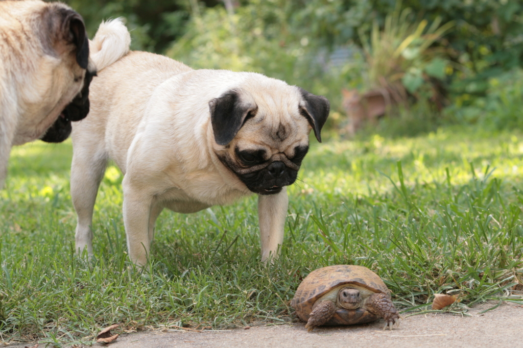 cute pugs and turtle