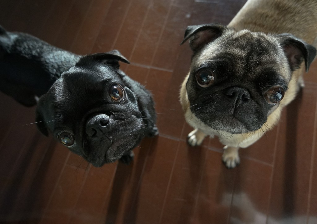 Two cute pugs waiting for snack time