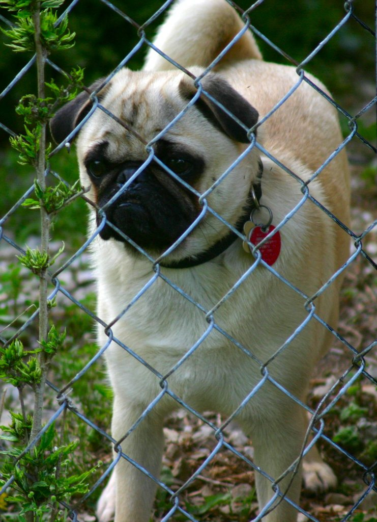 cute pug behind fence