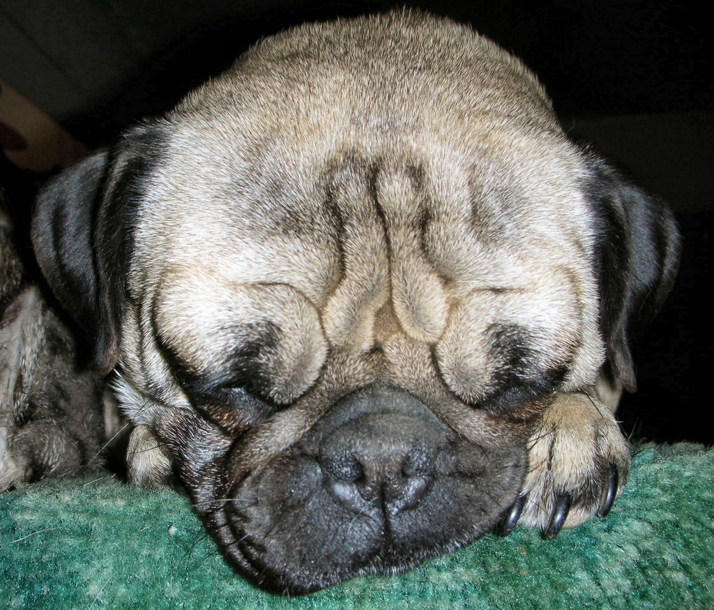 cute sleepy pug 2