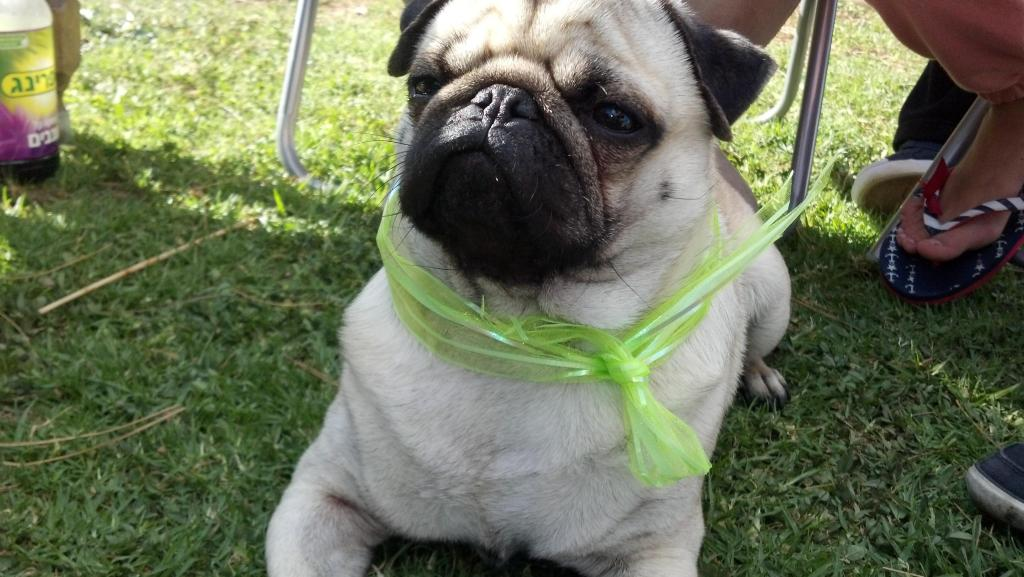 pug in green scarf