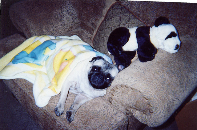 sleepy pug with toy