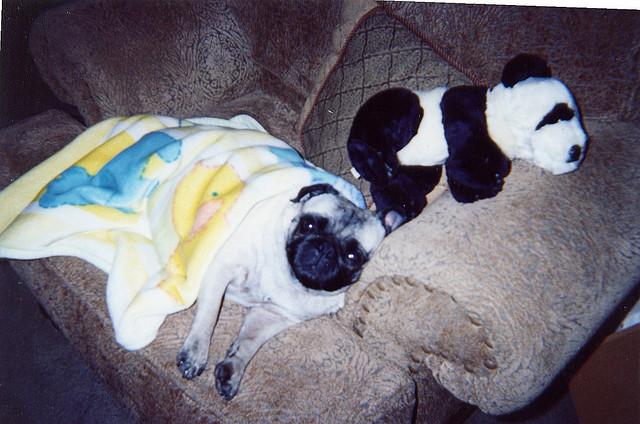 sleepy pug with toy