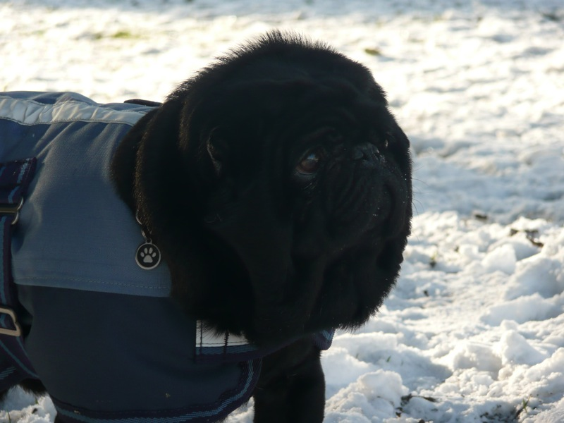 Bundled up pug in snow