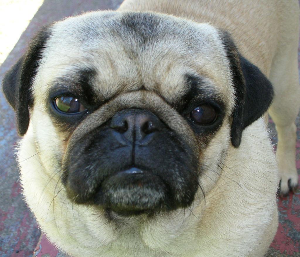 Cute Serious pug 2