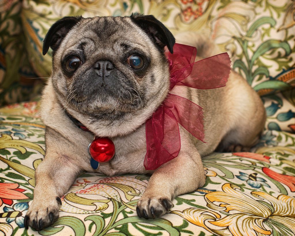 Festive christmas pug with ribbon and bulb