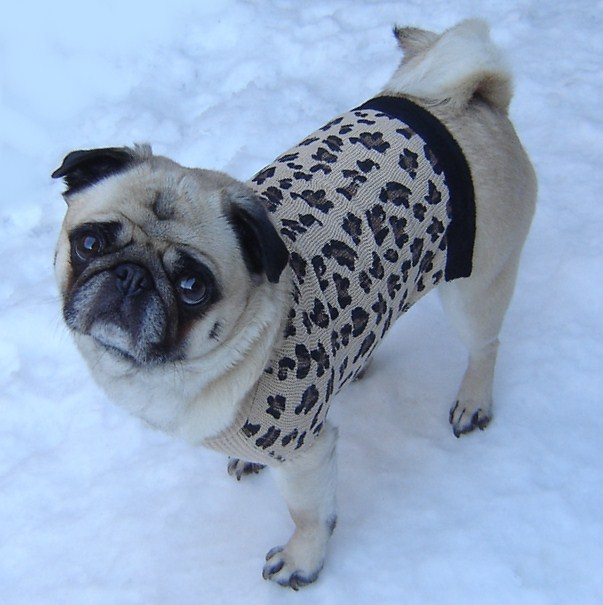 Pug in a leopard sweater