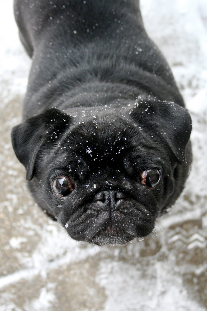 Pug sprinkled with snowflakes