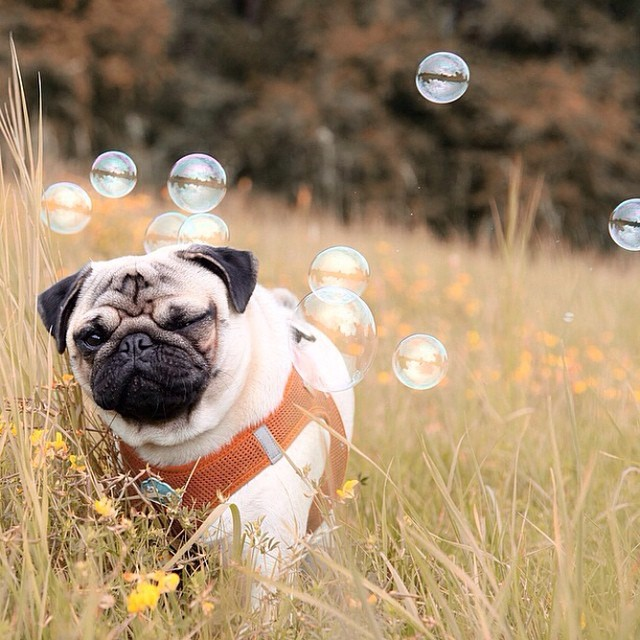 Pug with bubbles
