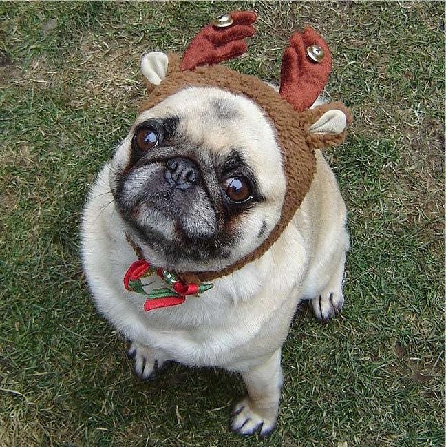Reindeer antler christmas pug