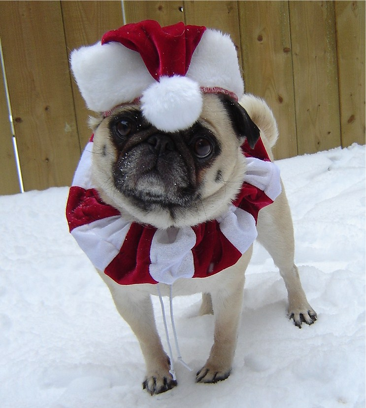 Santa hat christmas pug