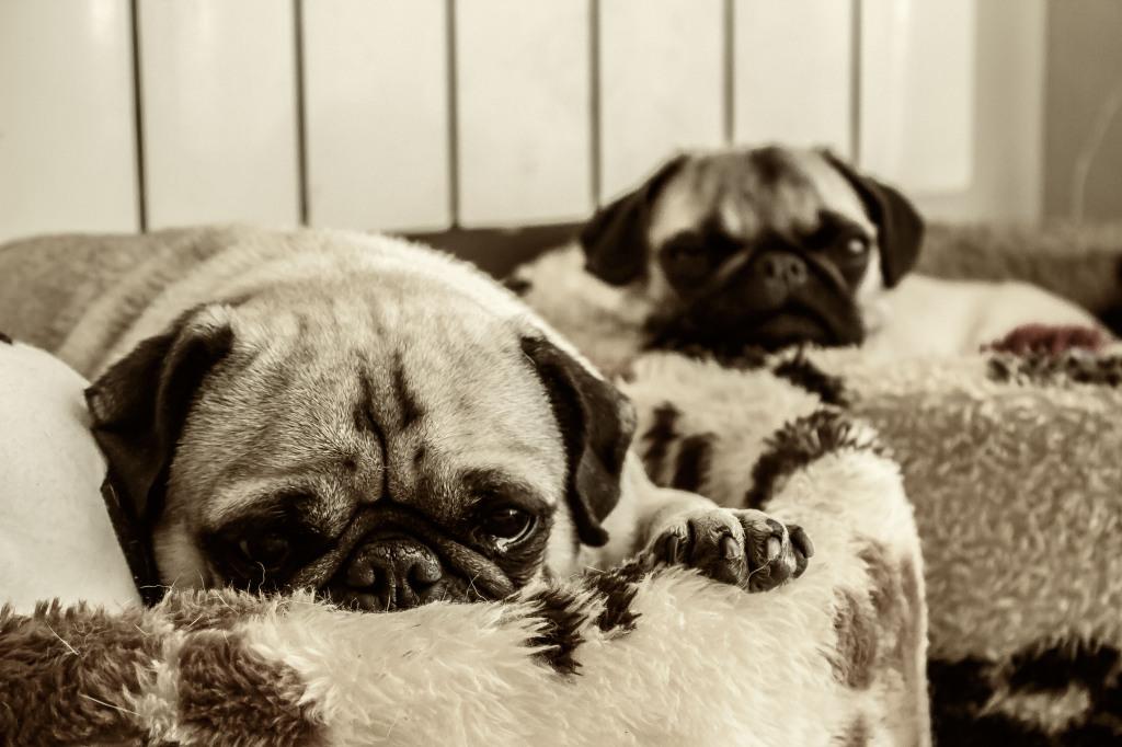 Sleepy pugs