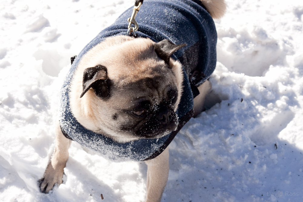 Cute pug with a sweater in the snow