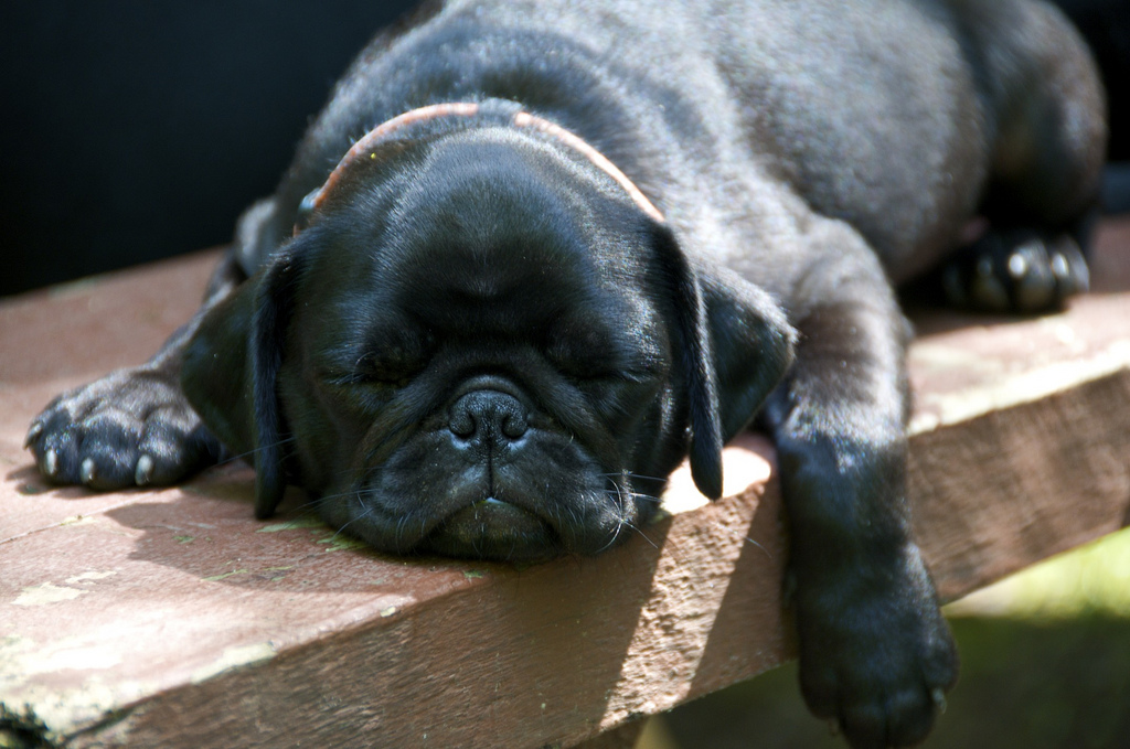 black pug sleeping outside