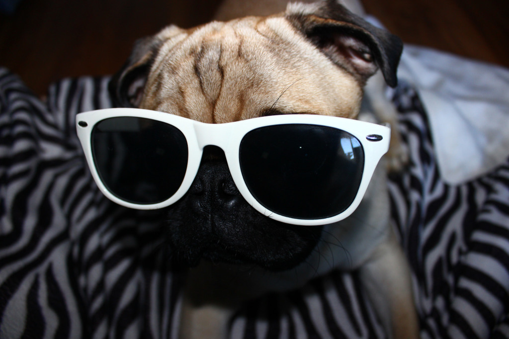 cool glasses pug
