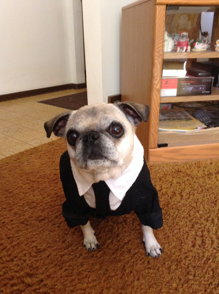 cute pug in a suit pug of the month - November