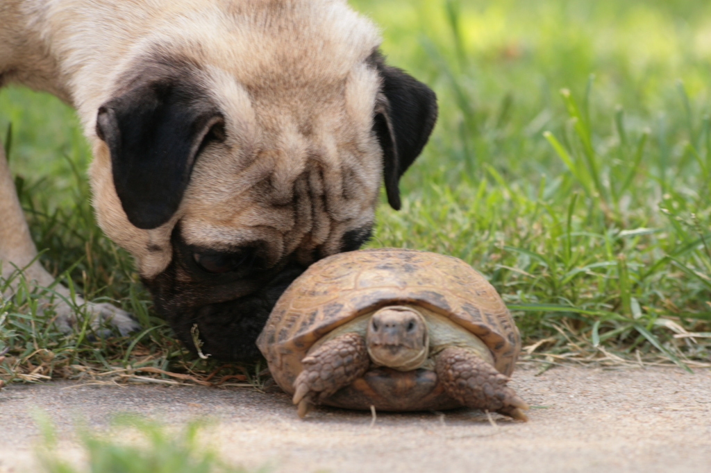 cute pugs and turtle 2