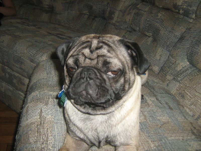 disgruntled pug face