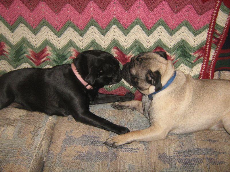 kissing pugs
