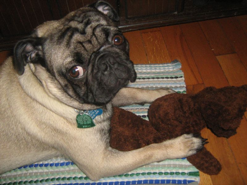 pug with teddy bear