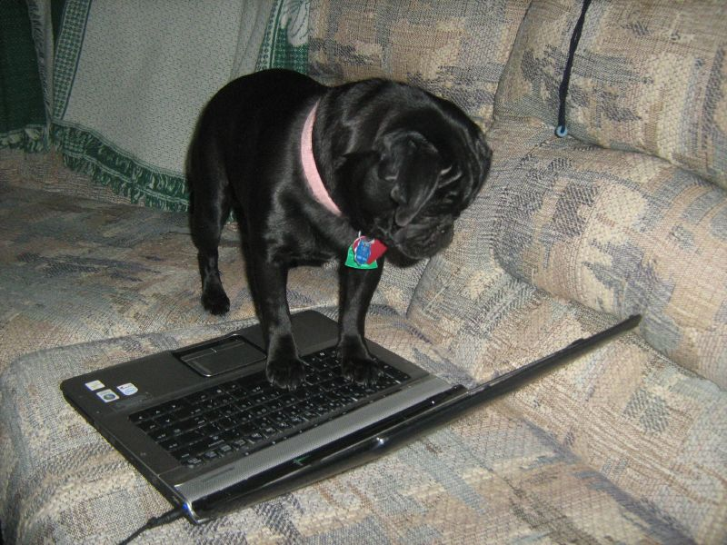 pug working on laptop computer