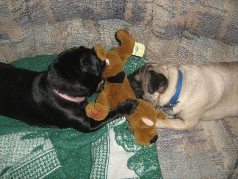 pugs sharing toy