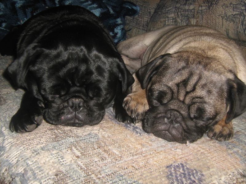 sleepy pug nap time