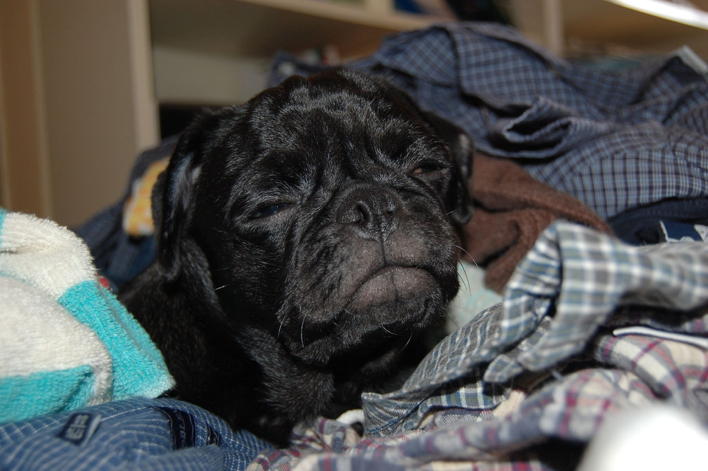 sleepy pug not ready to wake up