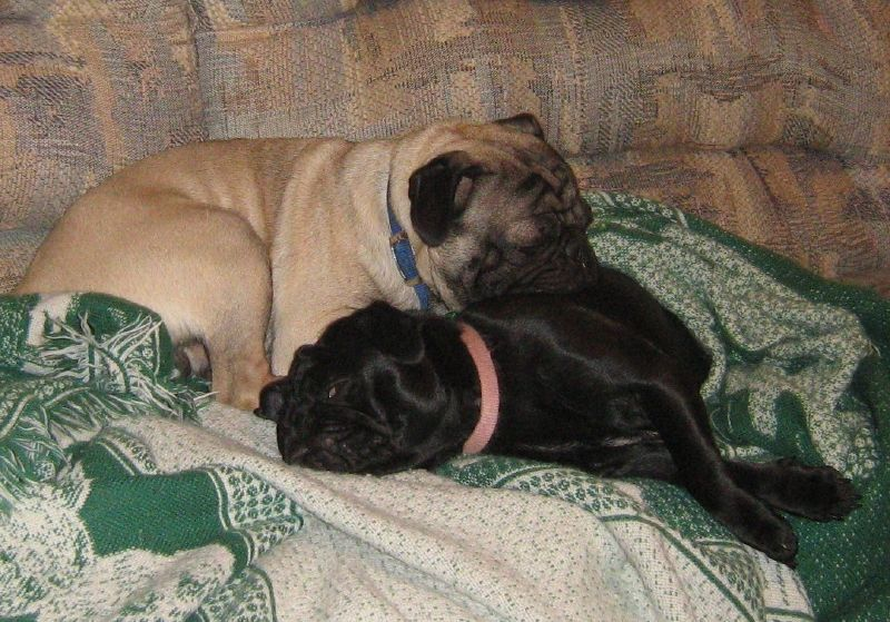 snuggly sleepy pugs