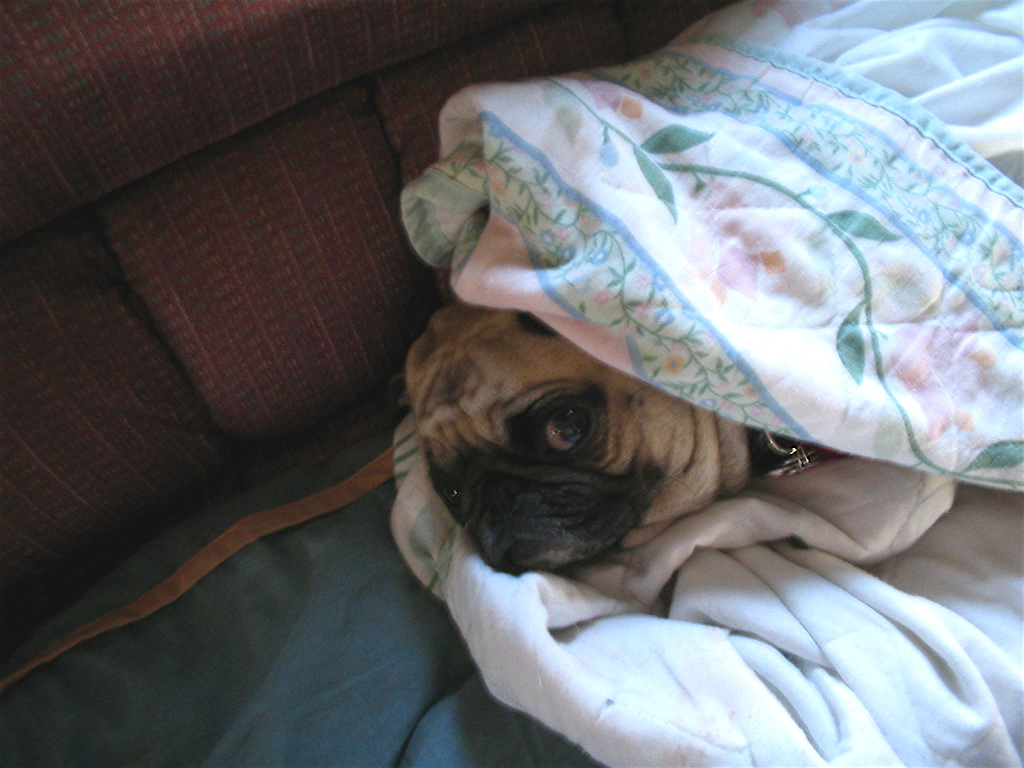 tucked in pug