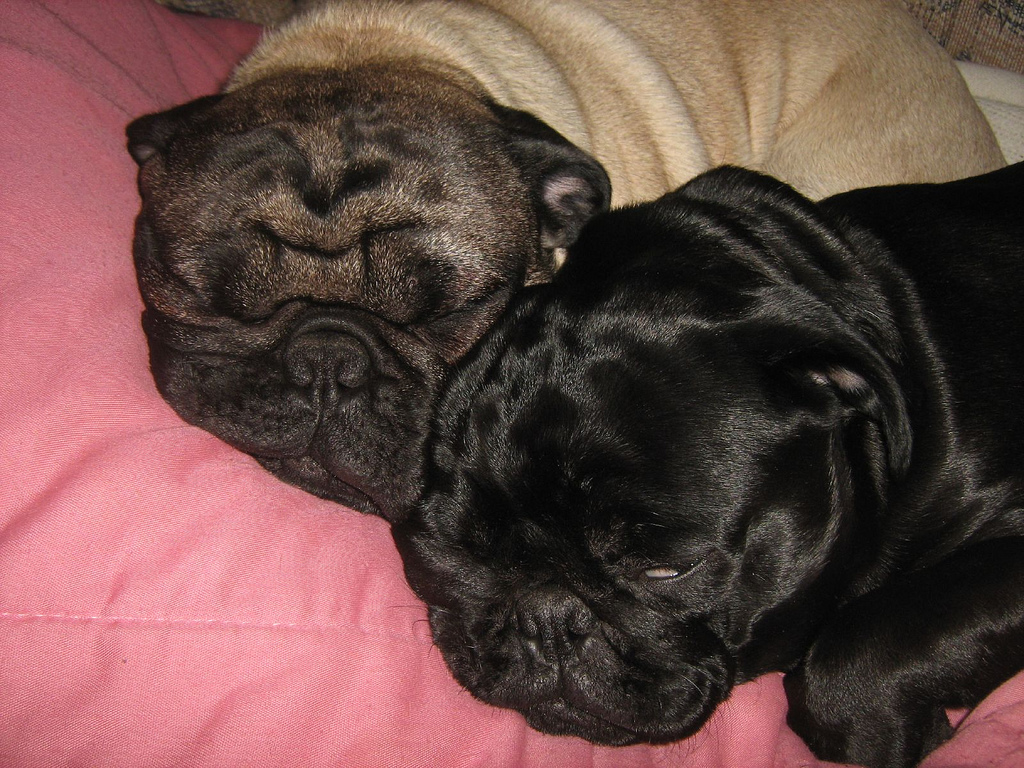 two sleeping pugs