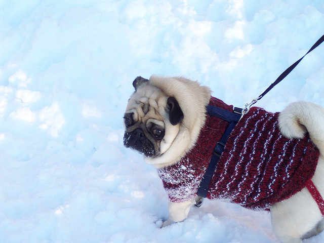 unsure snow pug in a sweater