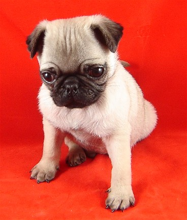 Adorable pug puppy on red