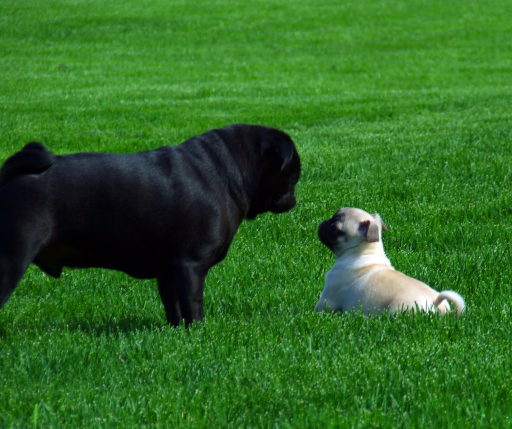 black and fawn cute pugs